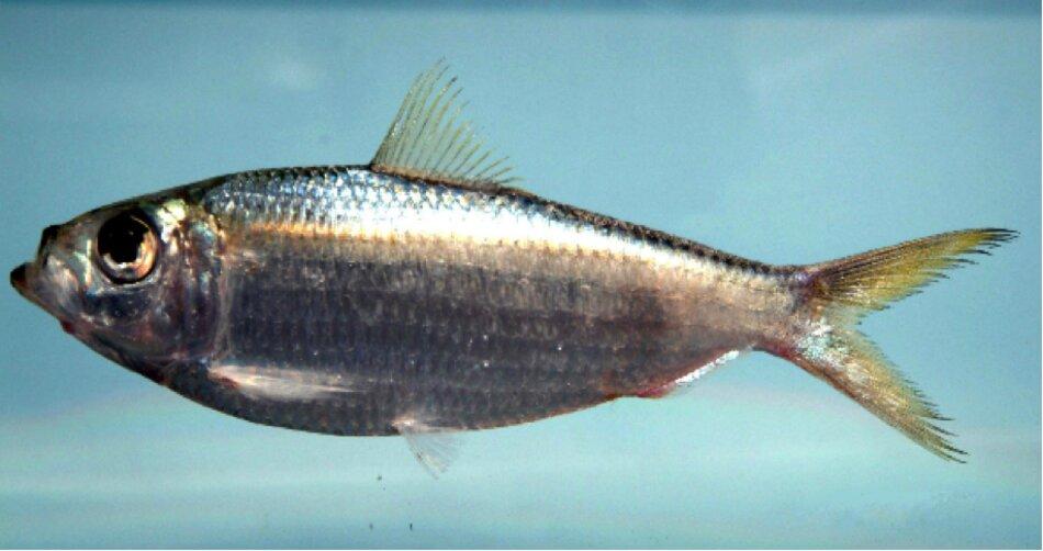 Cá mòi chứa nhiều Omega-3- dinh dưỡng tốt cho người cao tuổi